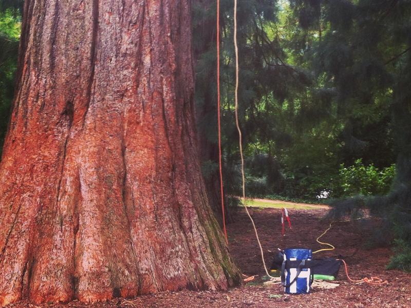 Conservació arbres singulars